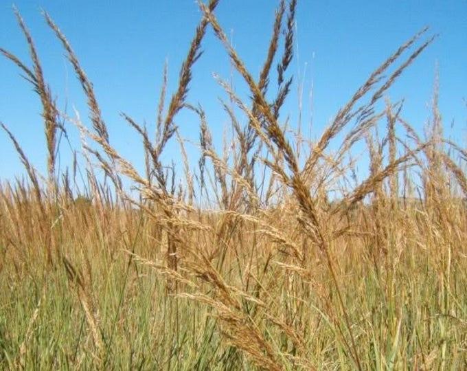 300 Ornamental BIG BLUESTEM GRASS Beardgrass Andropogon Gerardii Seeds
