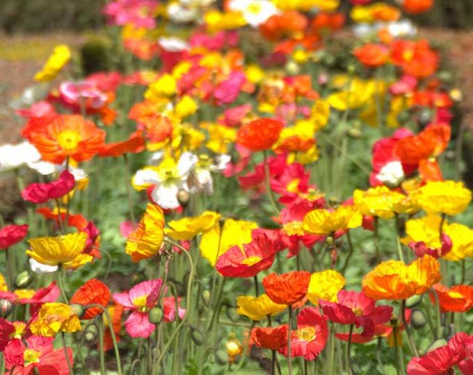 2000 MIXED Colors SHIRLEY POPPY ( aka Corn / Field / Flanders ) Papaver Rhoeas Flower Seeds