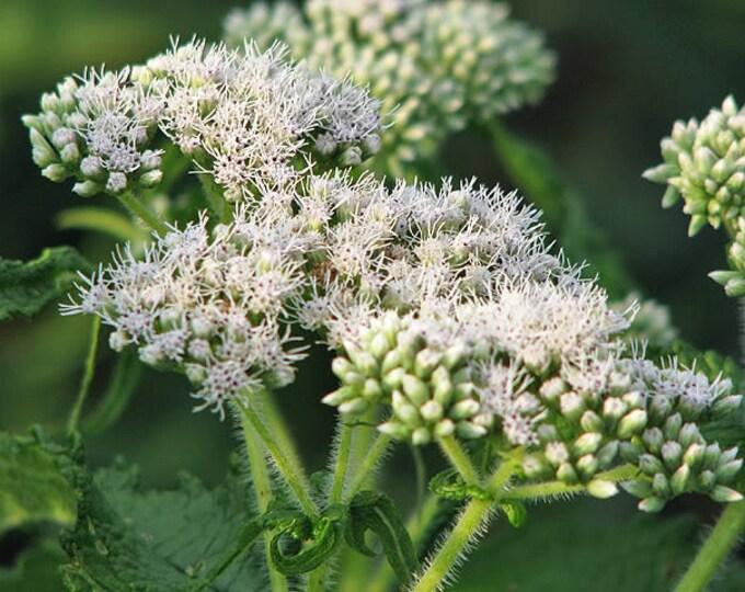 200 TALL WHITE BONESET (Thoroughwort) Eupatorium Perfoliatum Flower Seeds