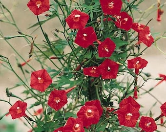 30 CARDINAL CLIMBER VINE Red Flower Seeds Ipomea Quamoclit *Comb S/H