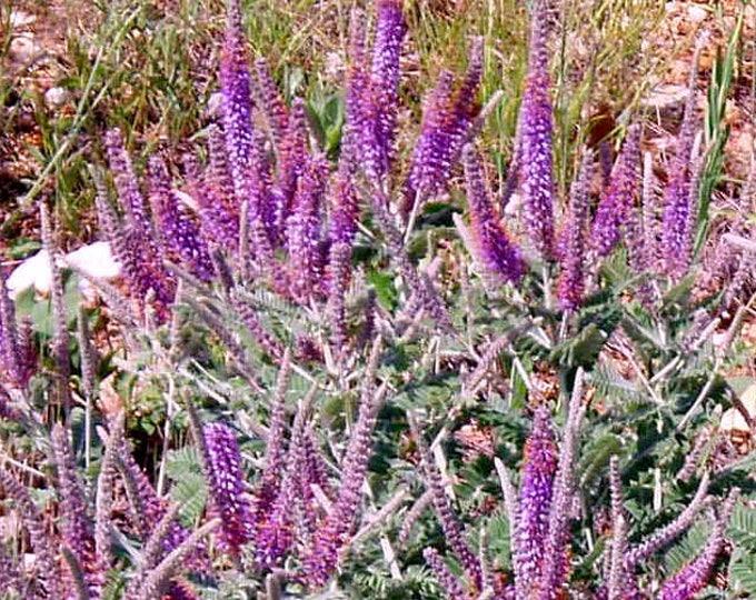 100 Purple LEAD PLANT Wild Tea Flower Seeds *Combined Ship