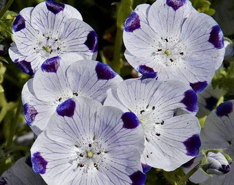 750 FIVE SPOT Nemophila Maculata Flower Seeds
