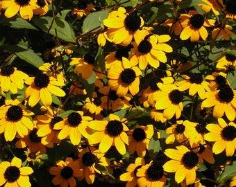 500 BROWN EYED SUSAN Rudbeckia Triloba Flower Seeds