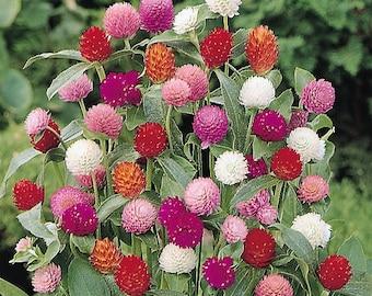 50 GLOBE AMARANTHUS MIX Gompherena Globosa Flower Seeds