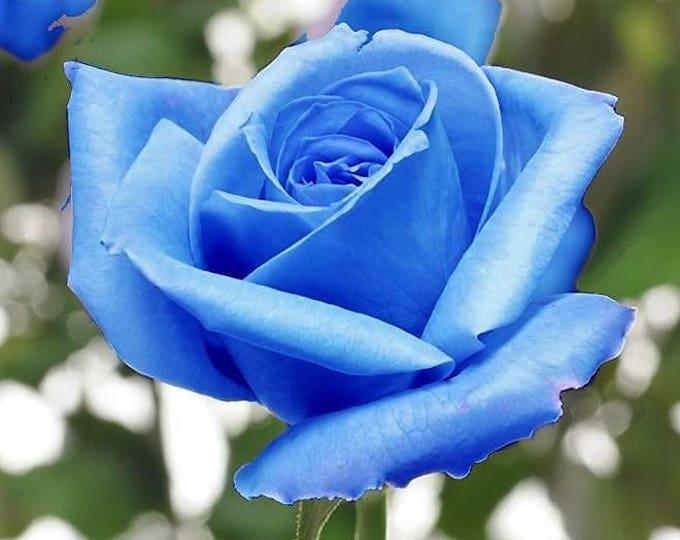 5 BLUE ROSE Rosa Bush Shrub Perennial Flower Seeds *Flat Shipping