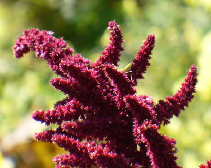 150 AMARANTHUS PYGMY TORCH (Prince of Wales Feather) Amaranthus Hypochondriacus Flower Seeds