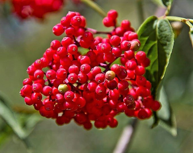 100 RED ELDERBERRY Sambucus Racemosa Scarlet Mountain Elder Bunchberry Tree Shrub Fruit Berry Seeds