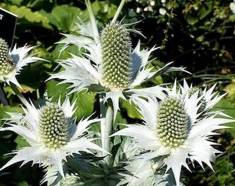 10 Giant SILVER SEA HOLLY Eryngium Giganteum Miss Willmott's Ghost Flower Seeds *Flat Shipping