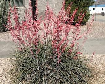1000 Bulk RED YUCCA Hesperaloe Parviflora Hummingbird Coral Yucca Flower Seeds