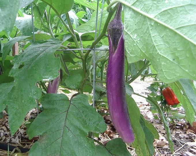 1000 LONG PURPLE EGGPLANT Solanum Melongena Esculentum Vegetable Seeds