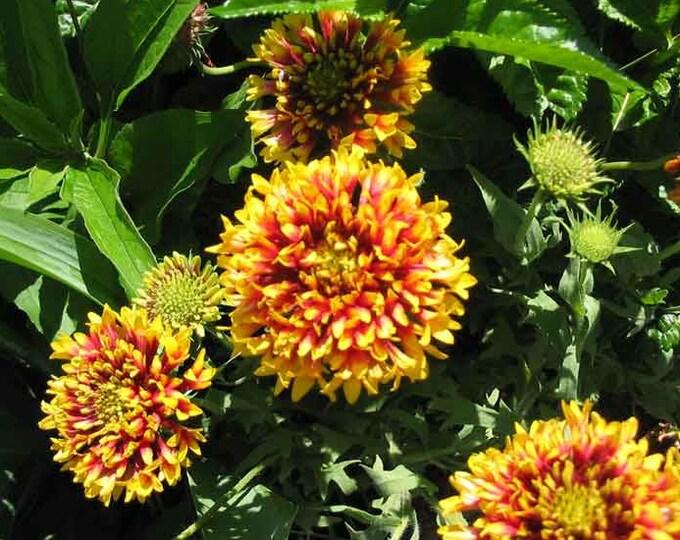 30 SUNDANCE BICOLOR GAILLARDIA Pulchella Indian Blanket Flower Seeds *Flat Shipping