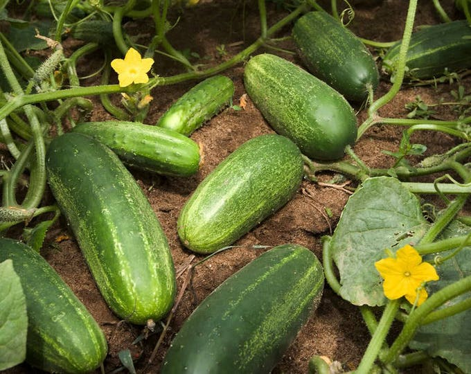 200 NATIONAL PICKLING CUCUMBER Fruit Cucumis Sativus Seeds