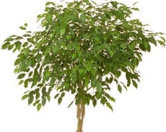 30 FICUS TREE (Bodhi Tree / Sacred Fig / Bo Tree / Pipal) Ficus Religiosa Seeds