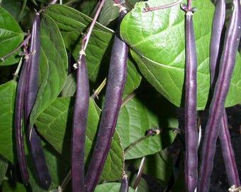 40 Royal PURPLE POD BEAN Phaseolus Vulgaris Vegetable Seeds