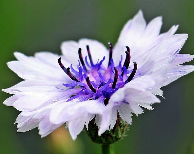 750 White BACHELOR'S BUTTON / CORNFLOWER Centaurea Cyanus Flower Seeds