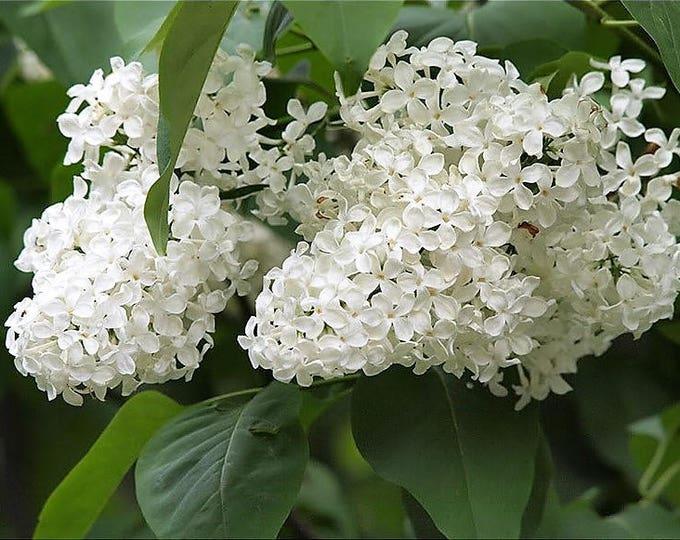20 WHITE TREE LILAC Hummingbird Flower Fragrant Peking Syringa Pekinensis Seeds