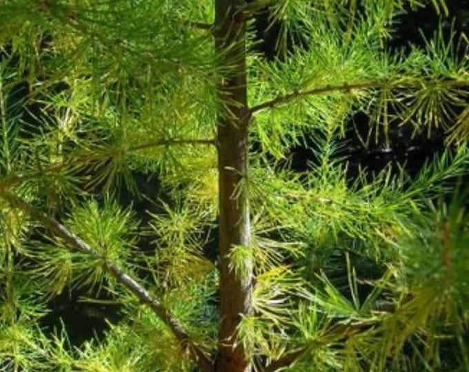 25 EUROPEAN LARCH TREE Pine Pinetree Evergreen Larix Decidua Seeds