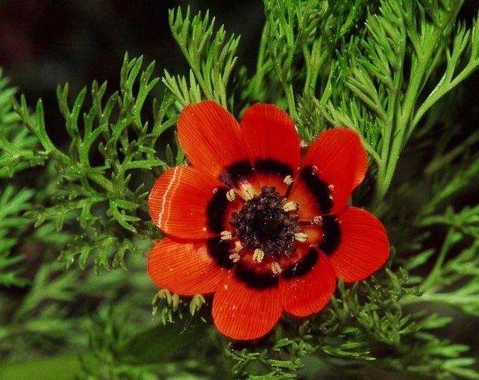 10 ADONIS PHEASANTS EYE Adonis Aestivalis Red & Black Flower Seeds *Combined S/H