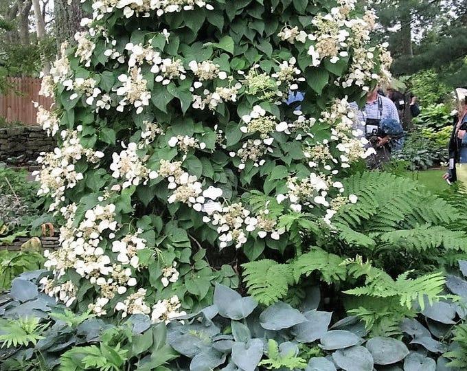 50 JAPANESE HYDRANGEA VINE White Flower Schizophragma Hydrangeoides Seeds
