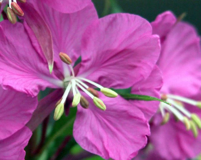 300 FIREWEED / ROSEBAY (Great Willowherb) Epilobium Angustifolium Flower Seeds *Comb S/H