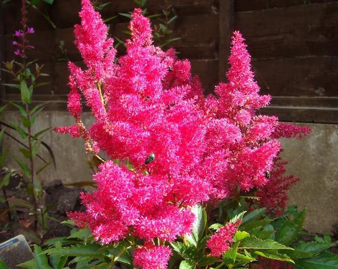 100 PINK MIX ASTILBE (False Spirea / False Goats Beard) Astilbe Chinensis Flower Seeds