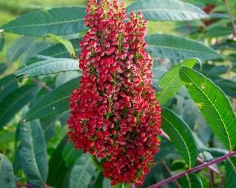 75 SMOOTH SUMAC TREE Red Berries Rhus Glabra Borealis Seeds