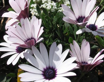 50 WHITE AFRICAN Cape DAISY Dimorphotheca Sinuata Flower Seeds *Comb S/H