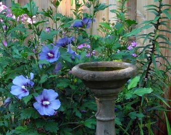 50 Blue Bird ROSE Of SHARON HIBISCUS Syriacus Flower Tree Bush Seeds *Flat Shipping