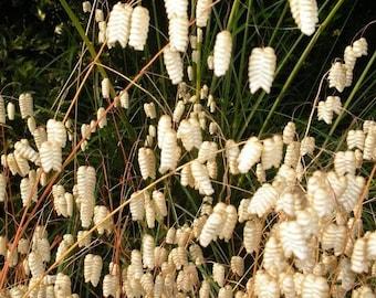 100 QUAKING GRASS (Rattlesnake Grass) Briza Maxima Seeds