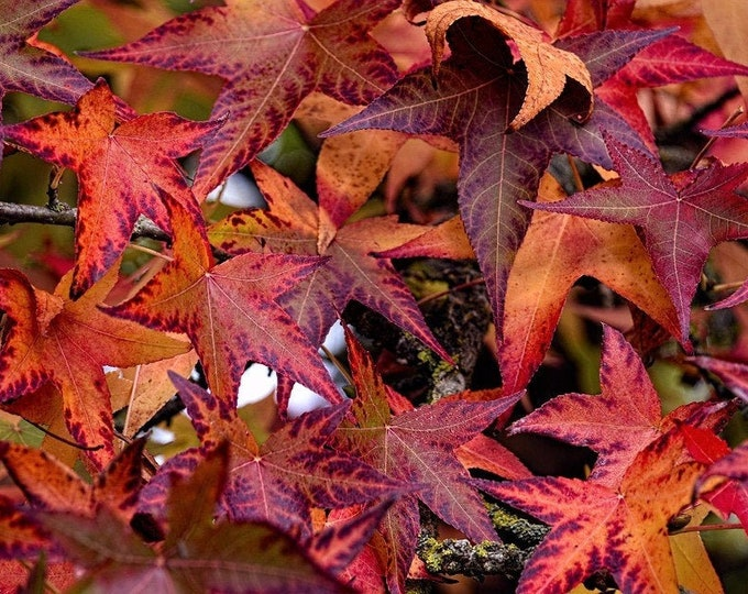 50 AMERICAN SWEETGUM Liquidambar Styraciflua Storax Alligator Sweet Gum Tree Seeds - Great Fall Color! Red Yellow Orange Purple