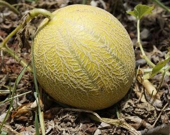 100 Minnesota MIDGET CANTALOUPE MELON Cucumis Melo Reticulatus Fruit Seeds *Flat Shipping