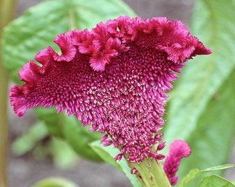 100 CORAL GARDENS Mix CELOSIA Cockscomb Celosia Argentea Cristata Flower Seeds