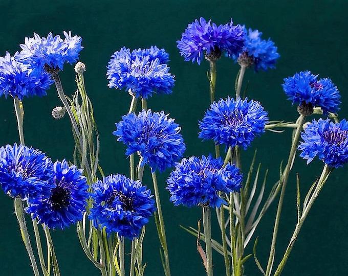 1000 Dwarf Blue BACHELORS BUTTON CORNFLOWER Flower Seeds Centaurea Cyanus