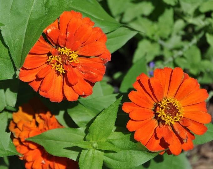250 ORANGE CLASSIC ZINNIA Elegans (Narrow Leaf Zinnia / Creeping Zinnia) Flower Seeds