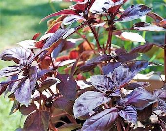 500 RED RUBIN BASIL Ocimum Basilicum Purpurascens Spicy Herb White & Lavender Flowers Seeds + Gift