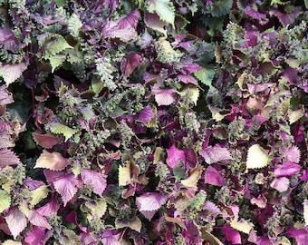 300 PURPLE SHISO aka PERILLA Frutescens Ornamental Herb Seeds Green & Purple
