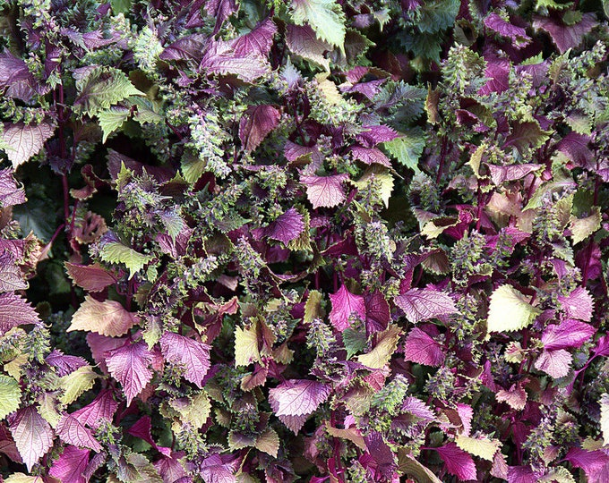 300 PURPLE SHISO aka PERILLA Frutescens Ornamental Herb Seeds Green & Purple