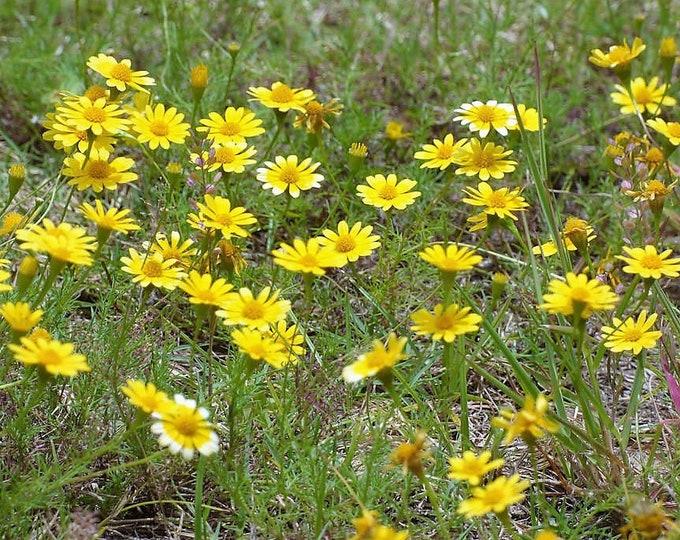 1000 DAHLBERG DAISY Thymophylla Tenuiloba Yellow Flower Seeds - aka Golden Fleece, Gold Carpet,  Shooting Star