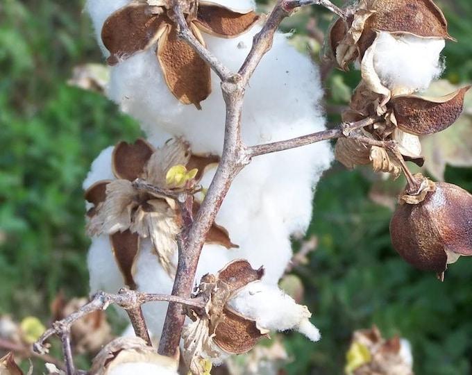 25 WHITE COTTON Gossypium Seeds