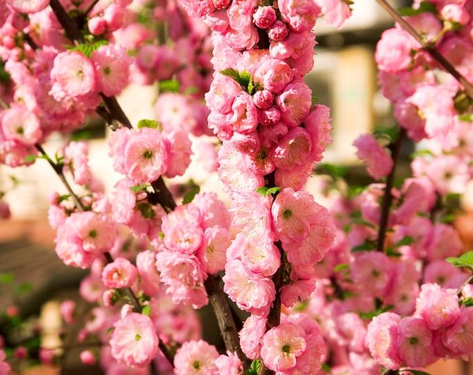 10 FLOWERING ALMOND Prunus Triloba aka Flowering Plum & Rose Tree Fragrant Double Pink Flower Shrub Seeds