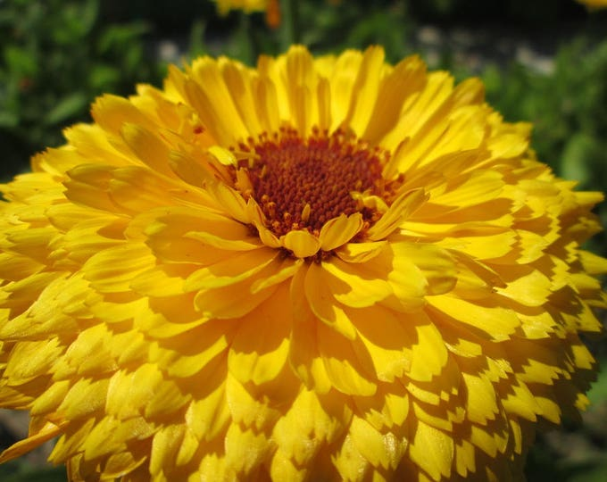 500 PACIFIC Beauty YELLOW MARIGOLD Calendula Officinalis Flower Seeds