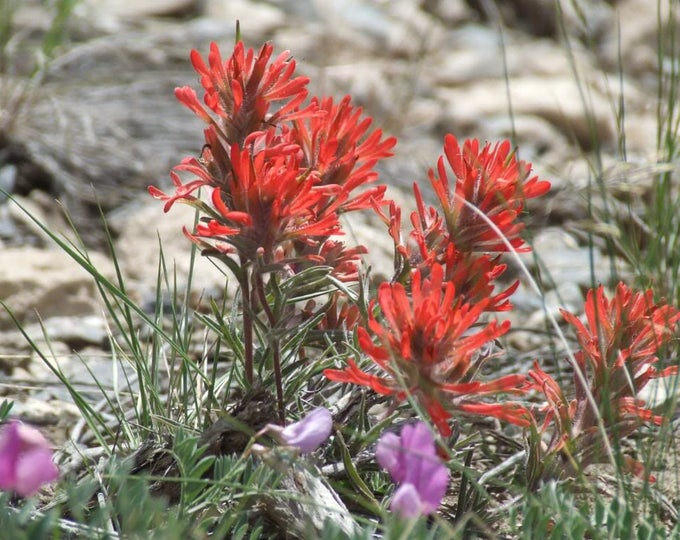 50 Red INDIAN PAINTBRUSH Castilleja Indivisa Flower Seeds