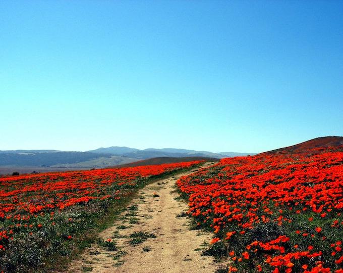 1500 MIKADO POPPY Red Orange California Poppy Flower Eschscholzia Californica Seeds
