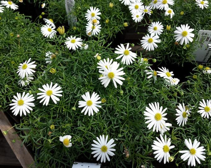 200 White SWAN RIVER DAISY Brachyscome Iberidifolia Flower Seeds *Flat Shipping