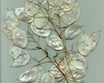100 LUNARIA Biennis ( MONEY PLANT / Silver Dollar / Honesty / Moonwort ) Flower Seeds