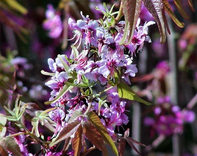 5 MEXICAN BUCKEYE Ungnadia Speciosa Shrub Tree Pink Purple Fragrant Flower Seeds