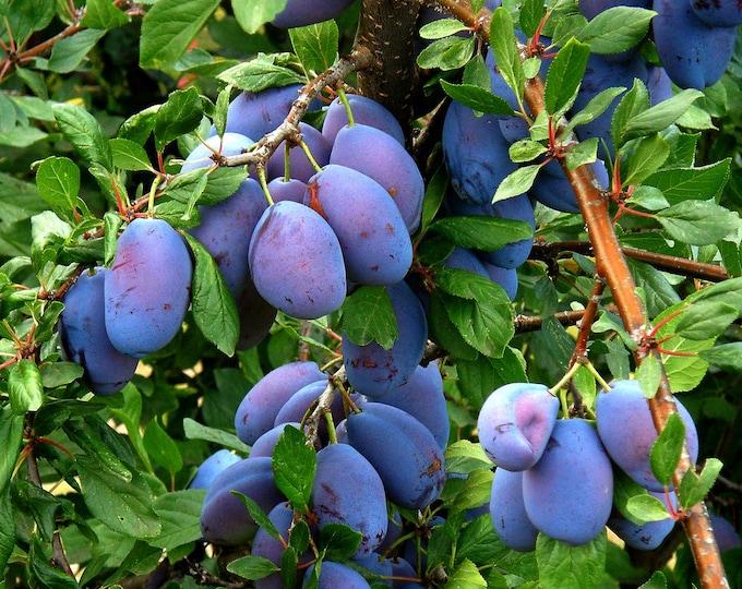 5 EUROPEAN PLUM TREE Prunus Domestica Common Prune Plum Purple Fruit White Flower Seeds