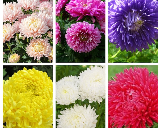 30 MIXED PAEONY ASTER Callistephus Peony Red Pink White Blue Purple Yellow Coral Apricot French Flower Seeds
