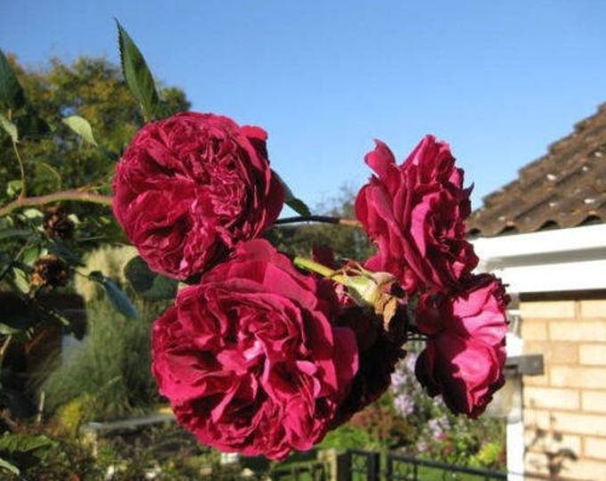 5 BURGUNDY CLIMBING ROSE Red Rosa Bush Vine Climber Fragrant Flower Seeds
