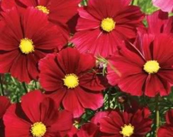300 RED COSMOS DAZZLER Cosmos Bipinnatus Flower Seeds